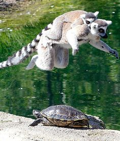Up, up and away! Two jumping lemurs fly over a turtle at the Indianapolis Zoo.