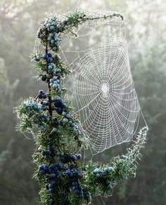 Awesome spider web in blueberry bushes.