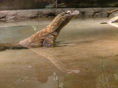 Komodo Dragon at the Akron Zoo
