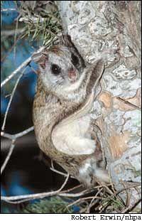 Northern flying squirrel... What big eyes it has! Amphibians 6e9a55cae