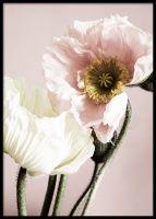 Close Up Poppy Flower Juliste