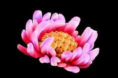 http://imguol.com/2013/05/23/as-imagens-trazem-uma-grande-quantidade-de-detalhes-aqui-o-pistilo-parte-laranja-desta-flor-esta-cercado-por-es...