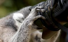 People take photos of lemurs at Edinburgh Zoo's new walkway enclosure, Scotland