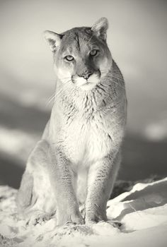 Mountain Lion Puma Cougar...These are 3 names for the same American Mountain Lion  :)