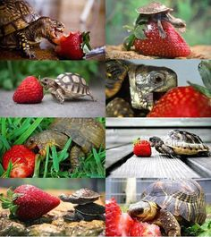 Strawberry and turtles