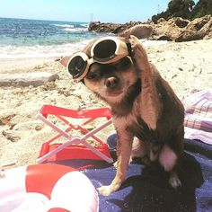 Hey girls...how ya doing?🕶🐶✌️💫🏄🆒 @instagram Can't wait to hit the Tel Aviv beach?  Follow @chihuahua_of_insta for more  via @gazelle_blanche  Love to tag? Please do!⤵ 💖 💗  #chihuahua #chihuahuasofinstagram #チワワ #chihuahualove #chihuahuas #chihuahualife #chihuahuafanatics #chihuahualover #instachihuahua #チワワ部 #ロングコートチワワ #ちわわ #chihuahuaoftheday #chihuahuaworld #onlychihuahuas #ロンチー #치와와 #chihuahualovers #犬 #chihuahuastagram #chiwawa #chihuahuagram #chihuahuaofinstagram #chi #チワワ画像…