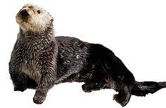 sea otter - Google Search