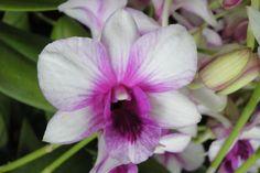 Burana Pink Alba Dendrobium Orchids | Salaya-rainbow