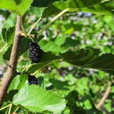 5 способов размножения шелковицы
