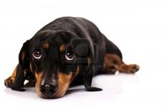 Google Image Result for http://us.123rf.com/400wm/400/400/alexandrup/alexandrup1206/alexandrup120600057/14233712-funny-little-dog-from-the-breed-dachshund-laying-his-head-down-looking-upwards-with-focus-on-the-eye.jpg