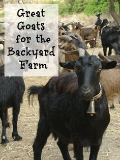 Great Goats for the Backyard Farm. Goats tend to stick together. Image by Malingering