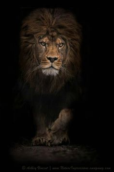 HD Lions Wallpapers And Photos Animals
