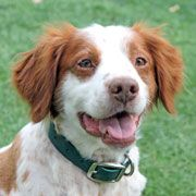 American Brittany Rescue --I can rescue a dog and it can still be my favorite breed! (someday...) <3 Brittanys!