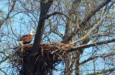 Bald Eagle nest in Franklin being guarded by watching father bird.  From Facebook page of  Historic Franklin Tennessee Bald Eagle Family Franklin Tennessee, Eagle Nest, Bald Eagles, Birds Of Prey, Nests, Bird Feathers, Shelf, Father, Facebook