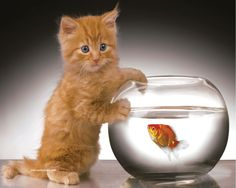 """""""What?"""" ... """"I'm just saying hello.""""   Adorable ginger kitty and a goldfish,"""