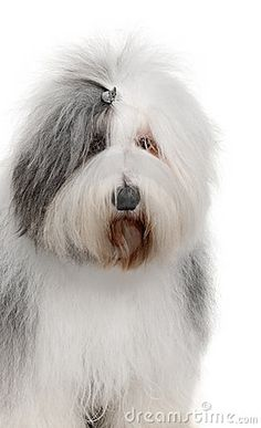 Old English Sheepdog, 2 Years old