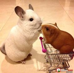 Chinchilla and Guinea Pig. Random Collection Of Cute Animals (18 Pics)