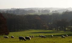 ~ Green and pleasant land ~ #locallife #lifethroughalens #Hampshire #sheep #grazing #autumn