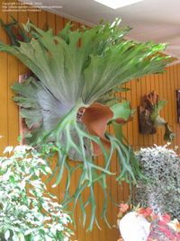 PlantFiles Pictures: Platycerium Species, Staghorn Fern (Platycerium superbum) by palmbob Unusual Plants, Exotic Plants, Cool Plants, Air Plants, Indoor Plants, Dream Garden, Garden Art, Garden Plants, Indoor Garden