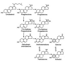 images about biology diagrams on pinterest   growth hormone    steroidogenesis