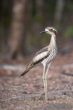Bush Thick-knee Oryx And Crake, Baby Painting, Natural Things, Australian Birds, Shorebirds, Study Help, Backyard Birds, Blue Heron, Sea Birds