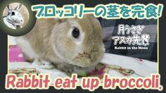 ブロッコリーの茎を完食!【ウサギのだいだい 】 Rabbit eat up broccoli. 2016年3月29日