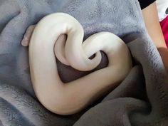 #Hearts ball python | Tumblr