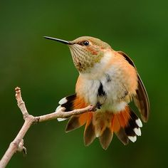 A Rufous Hummingbird stretches before it takes flight. I wait every fall for the time when the Rufous Hummingbirds return to my yard. They'll spend several weeks, taking a break from their migration south, defending temporary territories and feeding at the feeders.