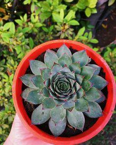 SEMPERVIVUM TECTORUM Succulents, Plants, Succulent Plants, Plant, Planets