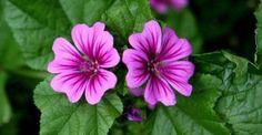Οι θεραπευτικές ιδιότητες της μολόχας http://biologikaorganikaproionta.com/health/139652/