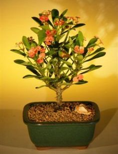 Flowering Crown of Thorns Bonsai Tree  PinkRedeuphorbia milii >>> Click image to review more details.