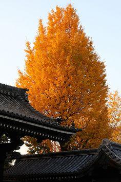 Golden autumn in Kyoto, Japan