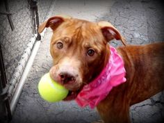 TO BE DESTROYED - 03/30/15 Manhattan Center   My name is POOCH. My Animal ID # is A1030305. I am a male brown american staff mix. The shelter thinks I am about 1 YEAR 6 MONTHS old.  I came in the shelter as a OWNER SUR on 03/14/2015 from NY 10035, owner surrender reason stated was MOVE2NYCHA https://www.facebook.com/Urgentdeathrowdogs/photos/a.611290788883804.1073741851.152876678058553/981319588547587/?type=1