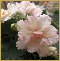 Sunkissed Rose (LLG)