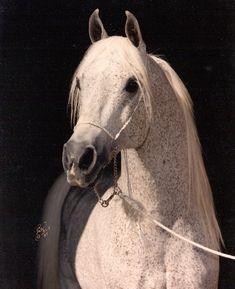Gdansk, Arabian stallion
