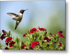 Hummingbird Metal Print featuring the photograph Hummingbird Frolic With Flowers by Christina Rollo