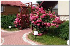 rosarium róże pnace