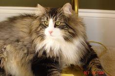 Thor, my Norwegian Forest Cat.