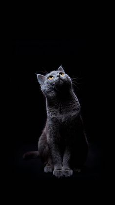 34 New Ideas Dogs Wallpaper Iphone Cat And Grey Cat Wallpaper Cat Wallpaper Cat Background