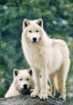 Two White wolves in forest (koda)