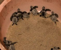 From article about Rescuing Olive Ridley Sea Turtles in India by the Humane Society International