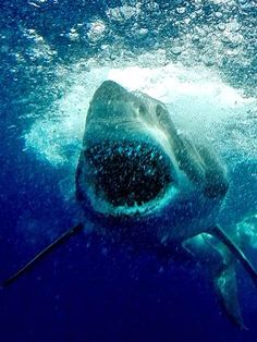 Great white attack