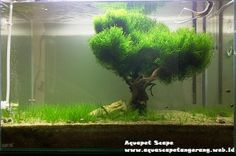 Flame moss and Hairgrass aquascape