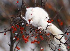 Albino Squirrel on Winter King Hawthorne tree