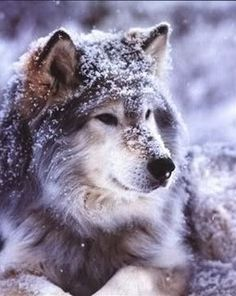 Big beauty covered in snow. Look how majestic this wolf is!