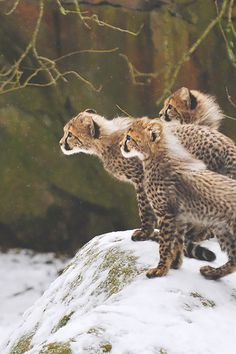 Cheetah babies  (by Ida Lundahl)