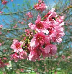 Waimea Cherry Blossom Festival Big Island