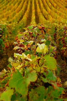 Autumn Vineyards ~ Hermonville, Champagne-Ardenne, France.  Photo: Vainsang via Flickr.