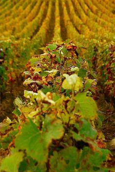 Vineyards, Hermonville, Champagne-Ardenne, France