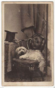 1860s Silky Skye Terrier w Top Hat Gloves Umbrella